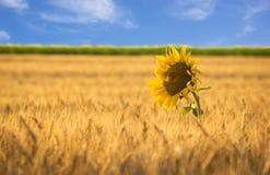 Lone sunflower Stock Photo