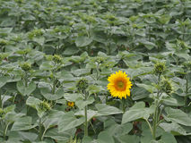 Lone sunflower. Lone yellow sunflower in blossom in a green field Stock Photography