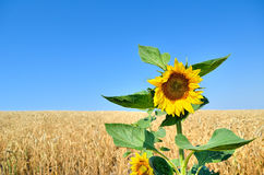 Lone sunflower on the background of the wheat field Royalty Free Stock Images