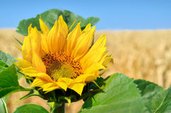 Lone sunflower on the background of the wheat field Stock Images