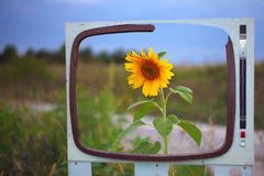 Lone sunflower in a field framed. One sunflower in a field framed.TV box frame Royalty Free Stock Photography