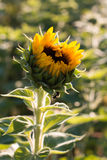 Lone sunflower on a green background with a bee collecting pollen Royalty Free Stock Image