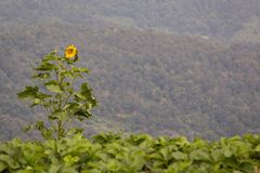 Lone sunflower in a strawberry field royalty free stock photo