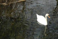 Lone Swan, Bishops Waltham, Southampton, England Stock Photo