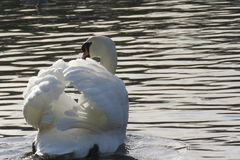 A lone swan Royalty Free Stock Images