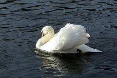 A lone swan Royalty Free Stock Image