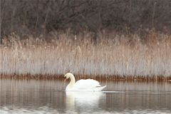 Lone swan in a pond Stock Photo