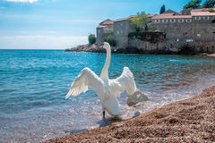 A lone swan Stock Image