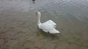 Lone swan Stock Images