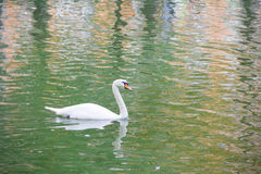 A lone  swan swimming in the lake. A lone white swan swimming in the lake Stock Image