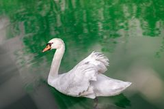 A lone swan swims peacefully in a small lake. The light filtering through the trees  creates a strange play of colors in the background Royalty Free Stock Photo