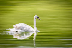 A lone swan swims peacefully in a small lake. Royalty Free Stock Photos