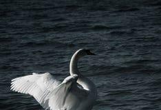 lone swan arkivbilder