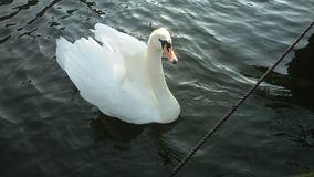 Lone swan Royalty Free Stock Photos