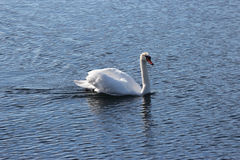 Lone swan in the water Royalty Free Stock Images