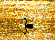 A lone Swans floating in a pond with glitter light. Swans floating in a pond with glitter light Royalty Free Stock Photos