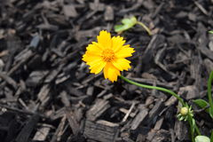 Lone tickseed flower bloom. Lone tickseed orange flower bloom royalty free stock images