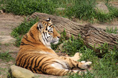 Lone tiger Stock Image