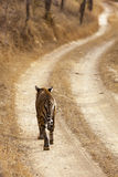 Lone Tigress Royalty Free Stock Images