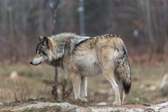 Lone timber wolf in the fall Stock Photo