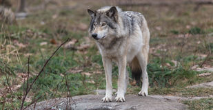 Lone timber wolf in the fall Royalty Free Stock Image