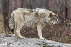 Lone timber wolf in the fall Royalty Free Stock Images