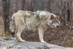 Lone timber wolf in the fall Stock Photography