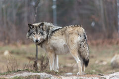 Lone timber wolf in the fall Royalty Free Stock Photos