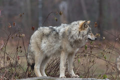 Lone timber wolf in the fall Stock Image
