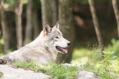 Lone Timber wolf in a forest Royalty Free Stock Images