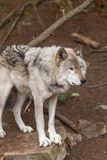 A lone Timber Wolf in a forest Stock Photography