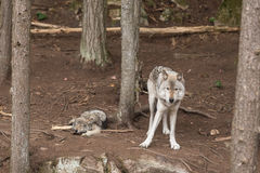A lone Timber Wolf in a forest Royalty Free Stock Photography