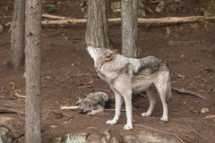 A lone Timber Wolf in a forest Stock Images