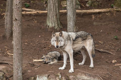 A lone Timber Wolf in a forest Royalty Free Stock Images