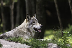 A lone timber wolf resting in a shaded area Royalty Free Stock Images