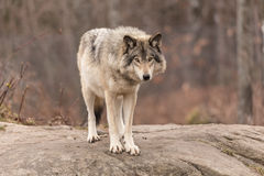 Lone timber wolf Royalty Free Stock Photography
