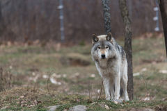 Lone timber wolf Stock Photos
