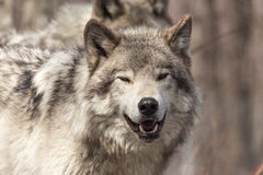 A lone Timber Wolf in the summer Stock Photography