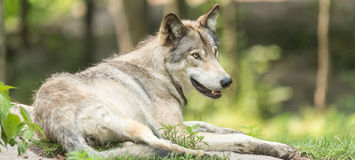 A lone Timber Wolf in the summer Royalty Free Stock Photo