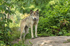 A lone Timber Wolf in the summer Royalty Free Stock Photography