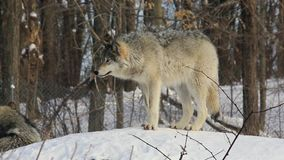 A lone timber wolf in winter. A lone timber wolf in a winter forest stock video
