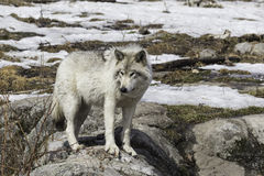 A lone timber wolf Stock Photography