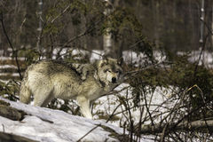 A lone timber wolf Royalty Free Stock Photos