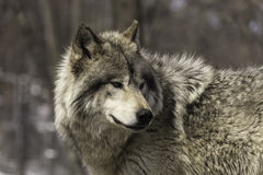A lone timber wolf Royalty Free Stock Photography