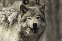 A lone timber wolf Royalty Free Stock Photo
