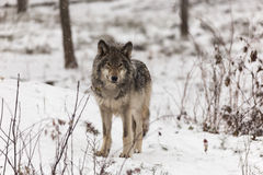 Lone timber wolf in a winter scene Royalty Free Stock Images