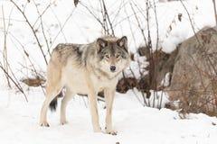 A Lone timber wolf in a winter scene. Lone timber wolf in a winter scene Royalty Free Stock Photo