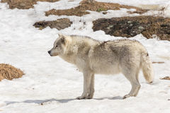 A lone Timber wolf in a winter scene Stock Photography