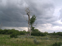 Lone Tree. Gangly tree in the middle of grassy land, stormy skies in the background royalty free stock images