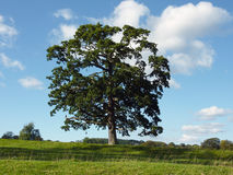 Lone tree. View of lone tree in field on sunny day Royalty Free Stock Image